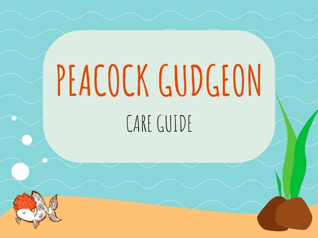 Peacock Gudgeon
