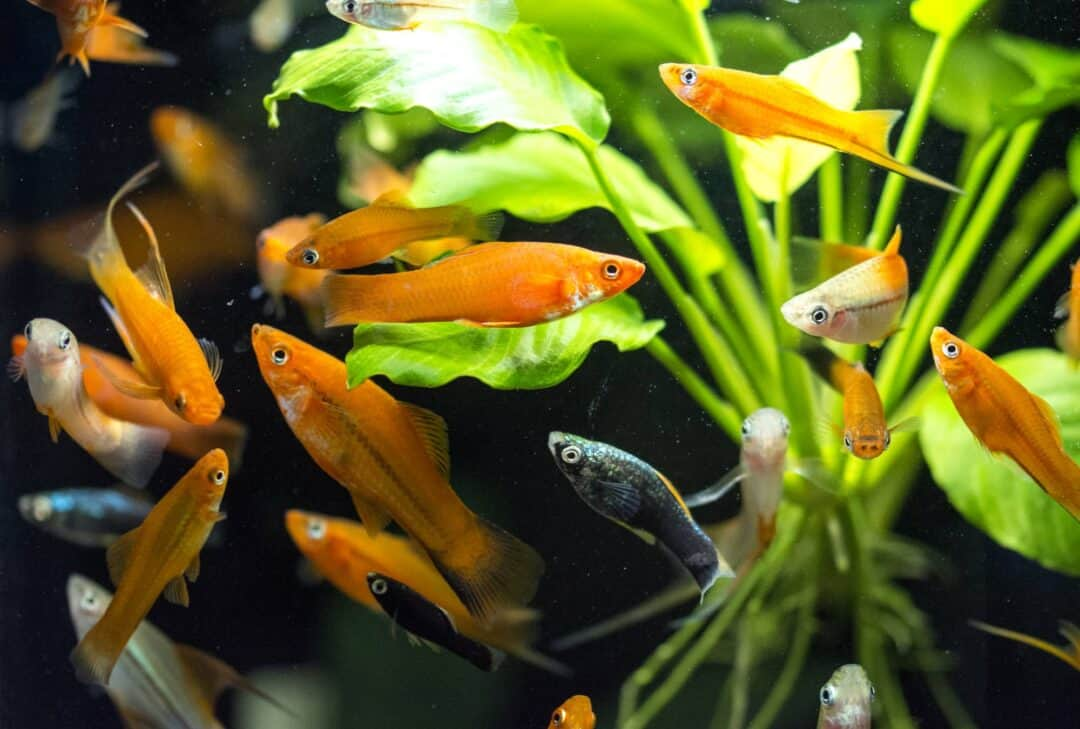 Small Freshwater Fish